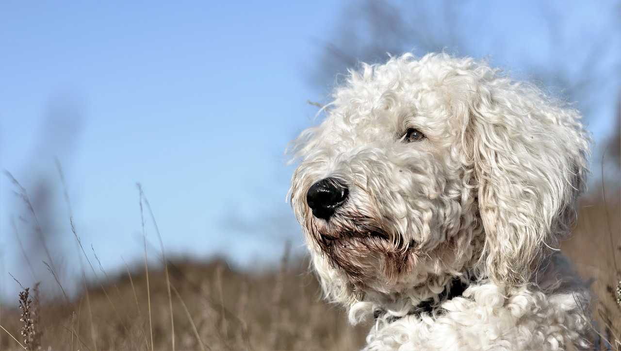 goldendoodle Gromming
